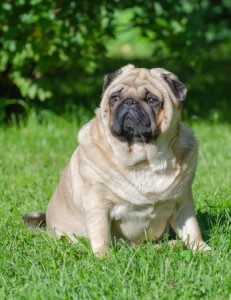 An obese Pug in need of a dog diet