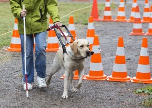 Guide dog on a lead