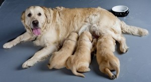 Breeding dogs is a big responsibility: A Golden Retriever with her puppies