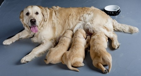 breeding dogs how to breed your dog   argos pet insurance