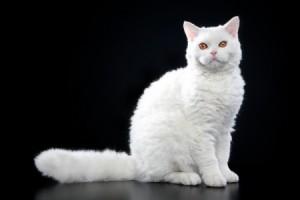 A white Selkirk Rex kitten