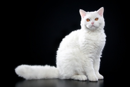 Selkirk Rex kittens and cats come in all different colours