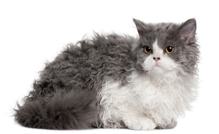 A cute Selkirk Rex kitten