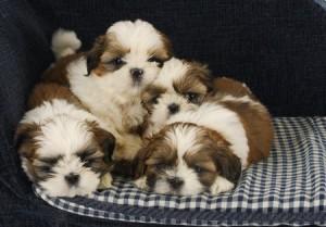 A litter of Shih Tzu puppies
