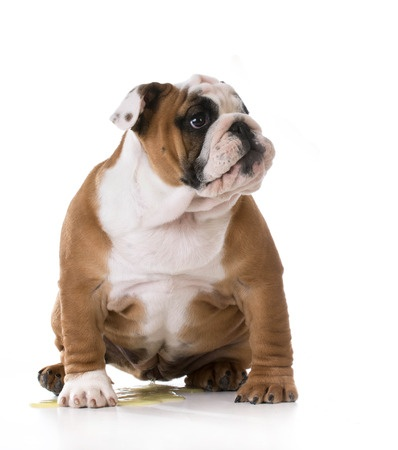 A Bulldog puppy has an accident. Learn how to stop dogs peeing in the house, with help from the Argos Pet Insurance blog.