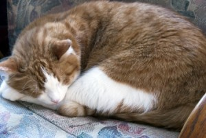 A sleeping Tabby cat