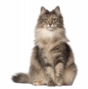 An adult Norwegian Forest cat