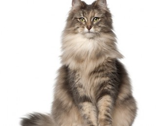 Norwegian Forest cats