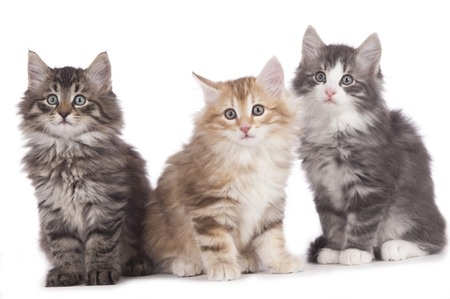 Norwegian Forest kittens