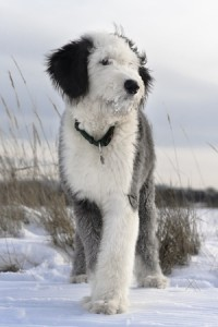 Old English Sheepdog puppies are very loveable dogs
