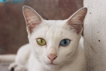 Khao Manee cats have distinctive eyes, which can be different colours