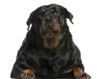 Obese Dogs like this Rottweiler are becoming a common problem