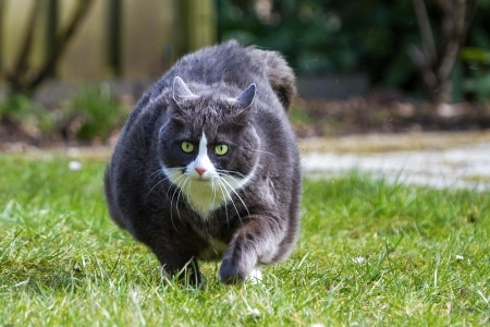 Cat obesity is a growing problem in cats