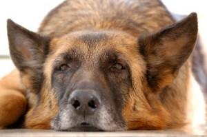 Older dogs like this German Shepherd need pet insurance too