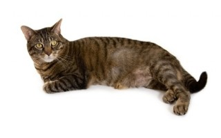 This cat has hair loss, but bald patches on cats are not uncommon