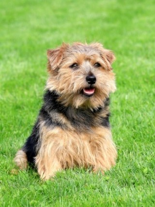 Norfolk Terrier Dogs are a friendly breed
