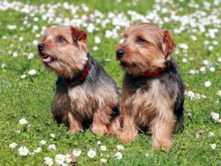 Norfolk Terrier puppies are a popular breed