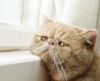 How to Prevent Cat Loneliness - Sad Cat Looks Out of Window