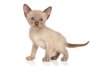 Oriental kittens are cute and have distinctive large ears