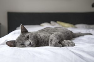 Korat Cat snoozing on bed