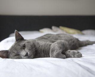 Korat Cat snoozing on bed