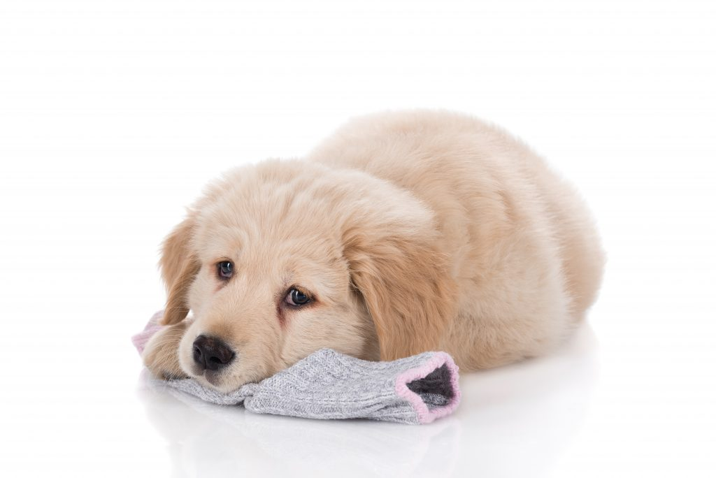 Dog with a sock