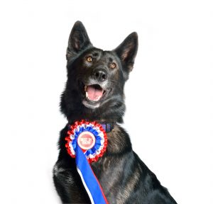 black Alsatian wearing a rosette