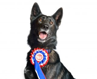 Crufts black Alsatian