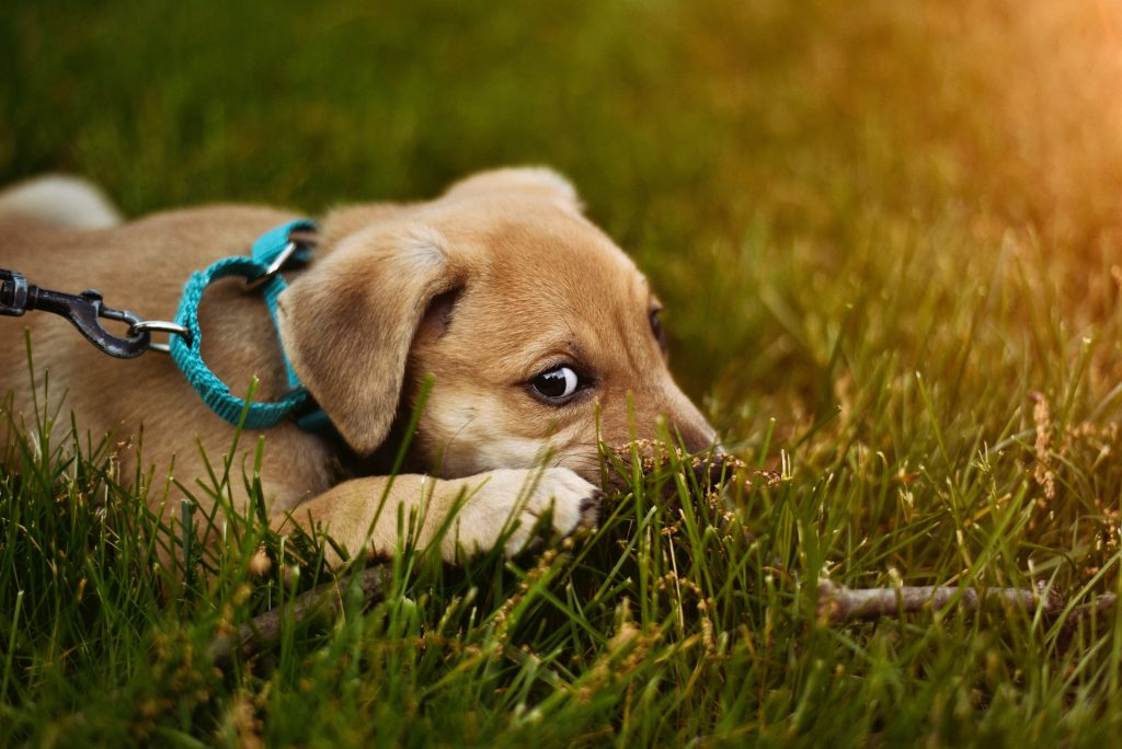Puppy lies down in grass