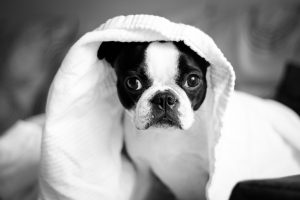 Black and white puppy under a towel