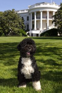 7 Famous Dogs That Stole Our Hearts - Bo the dog of the Obama daughters sits on the lawn in front of the White House
