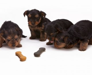 Puppies with non poisonous treats - what food is poisonous for dogs?