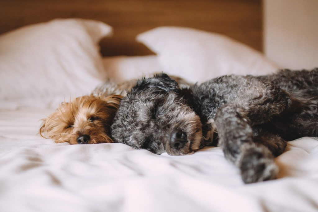 Avoid Hair of The Dog This Christmas - Alcohol Poisoning in Pets. Two cute puppies nap on a bed together