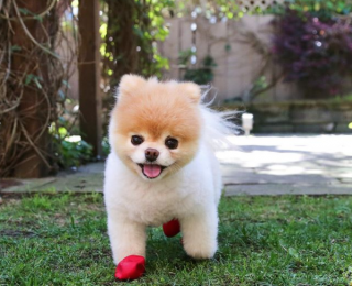 7 Famous Dogs That Stole Our Hearts - Boo the dog looks happy in the garden