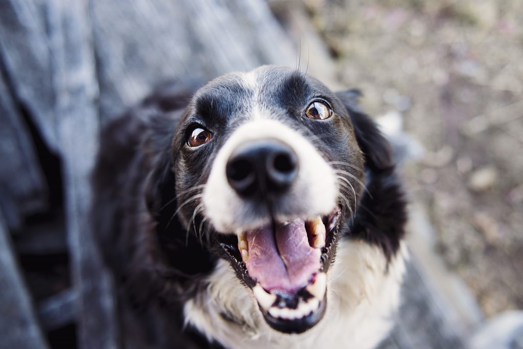 Stray dog - a lost Border collie