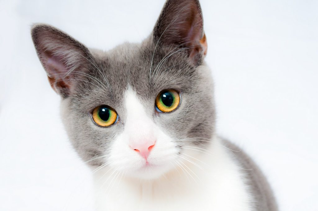 Close up of a healthy grey and white cat