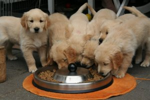Puppies eat dog food from bowl