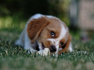 Small white and tan puppy eats a snack on grass - Which Dog Food is Best For Your Dog