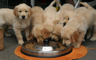 Golden Labrador puppies gather around a large food bowl - Which Dog Food is Best For Your Dog