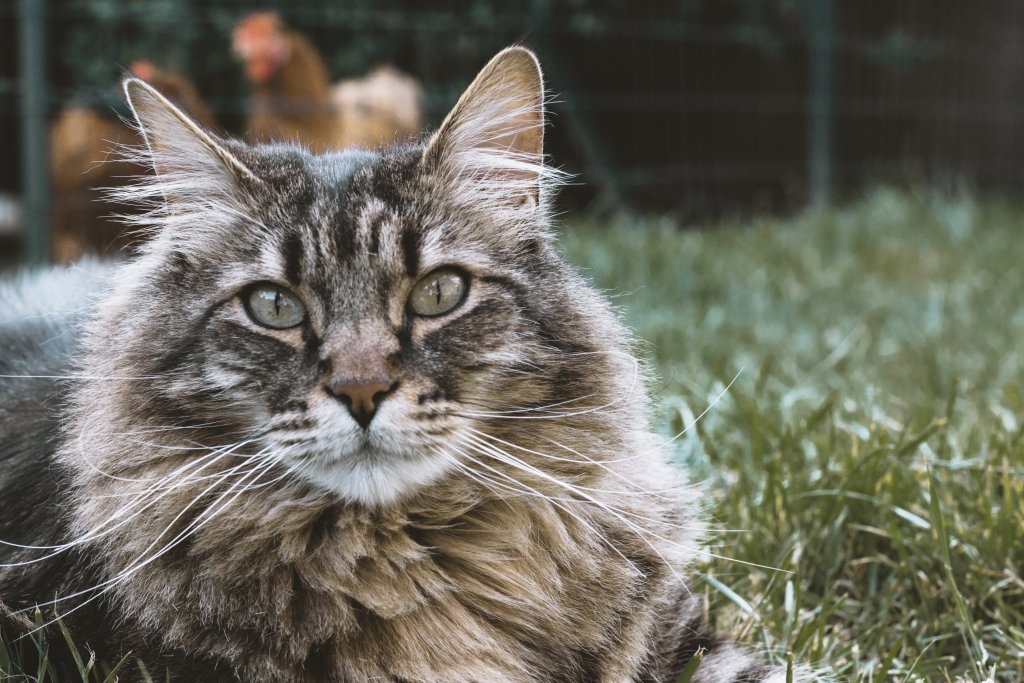 Siberian Cat in the grass - Most Popular Cat Breeds