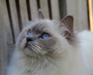 fluffy ragdoll cat with blue eyes - popular cat breeds