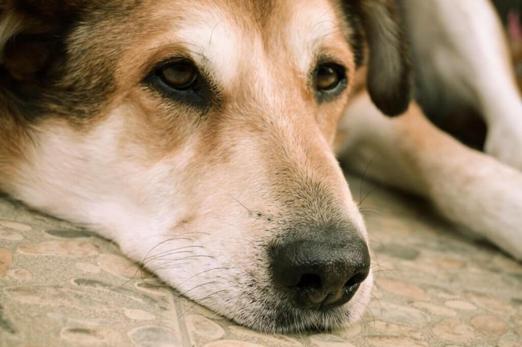 Dog with Addison's Disease looks sad resting on tiled floor