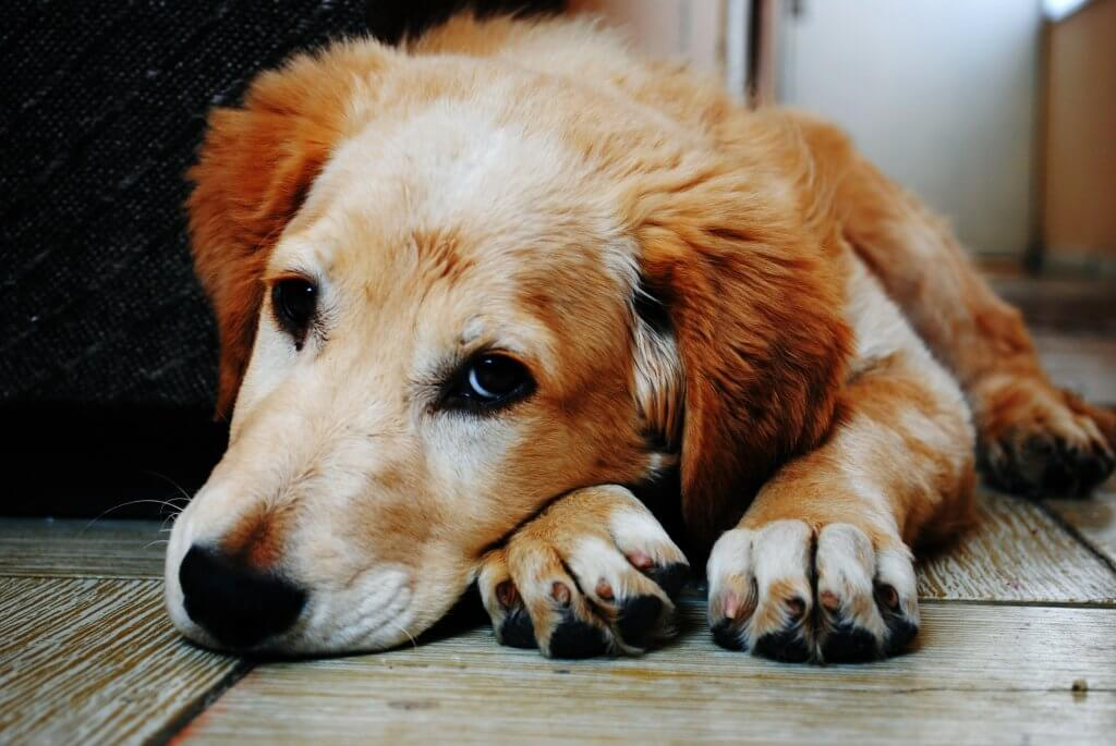 Can cats and dogs catch colds? Sad Dog on Wooden Floor