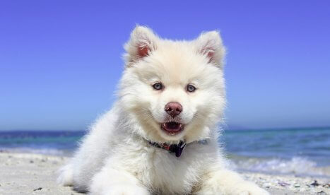 White Fluffy Puppy is Ready to Play at the Beach