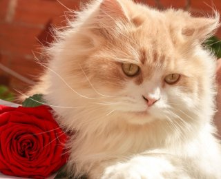 Valentine's Day White and Orange Cat with Red Rose