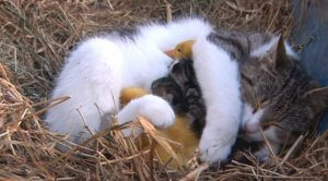 world friendship day - cat and ducklings