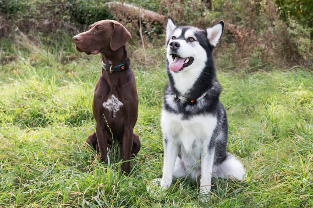 Two dogs wearing a PitPat collar