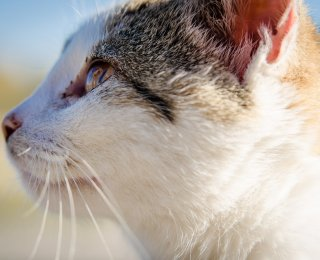 demodectic mange in cats and dogs