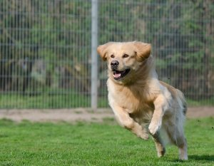 A dog running and playing on a field