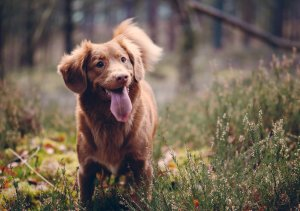 A happy brown dog enjoys playing in woodland